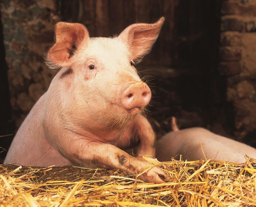Jak chronić świnie przed ASF ?