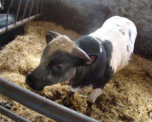 ProOptiBeef – korzyści dla hodowców bydła