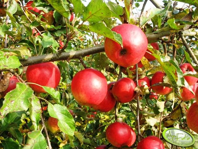 Dokarmianie jabłoni po opadzie świętojańskim