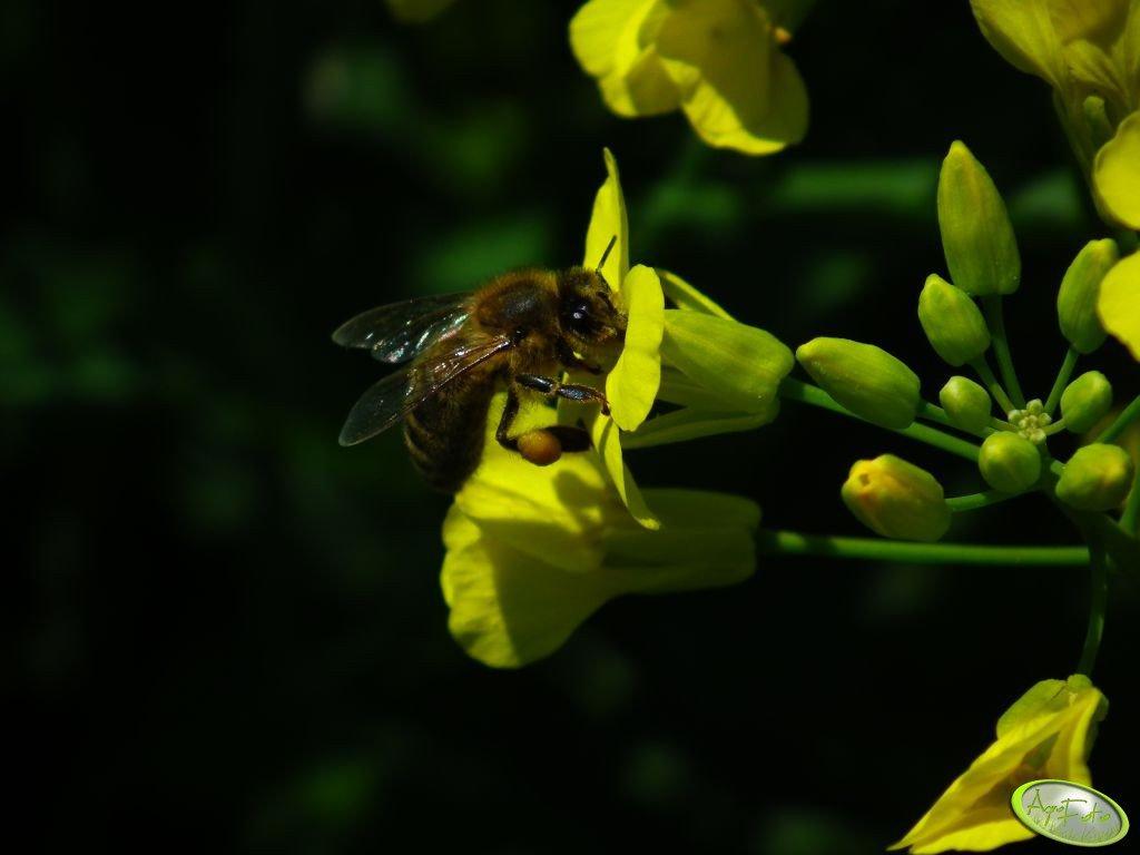Polski rzepak niebezpieczny dla pszczół