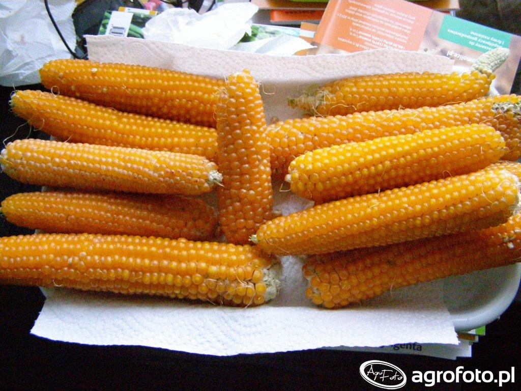 Kukurydza. Przegrana bitwa z suszą?