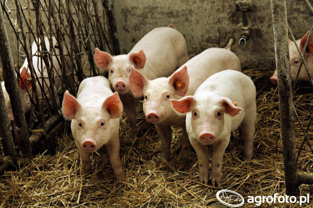 Rolnicy z Podlasia żądają odszkodowań za rezygnację z hodowli trzody