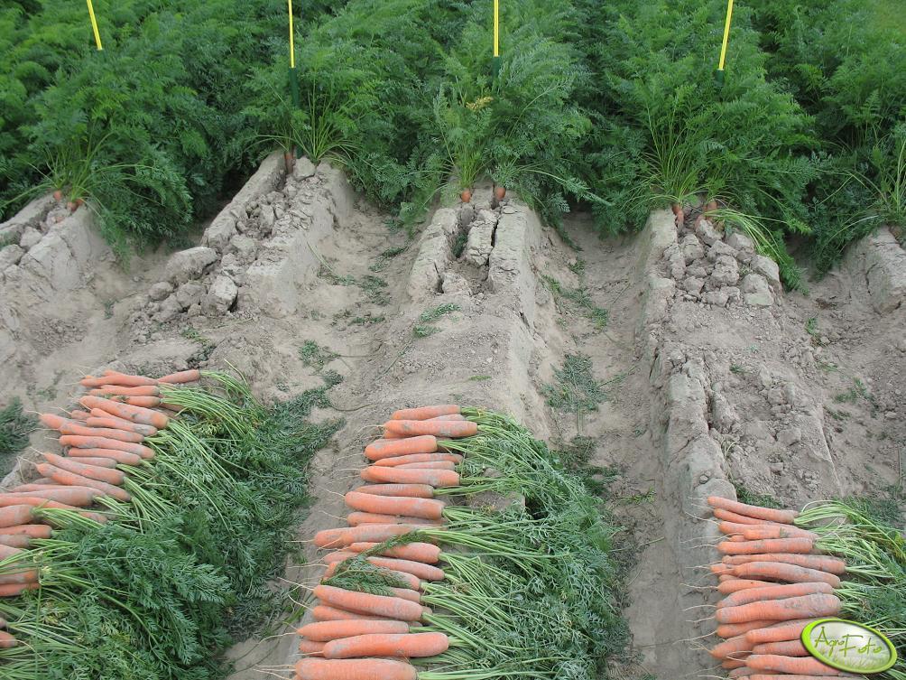 Mikroelementy w uprawie marchwi