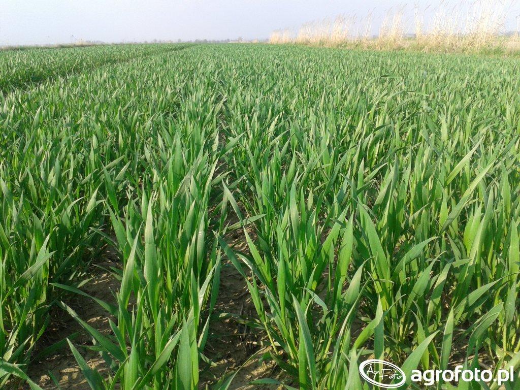 Pszenica: ustalanie rekomendacji agrotechnicznych