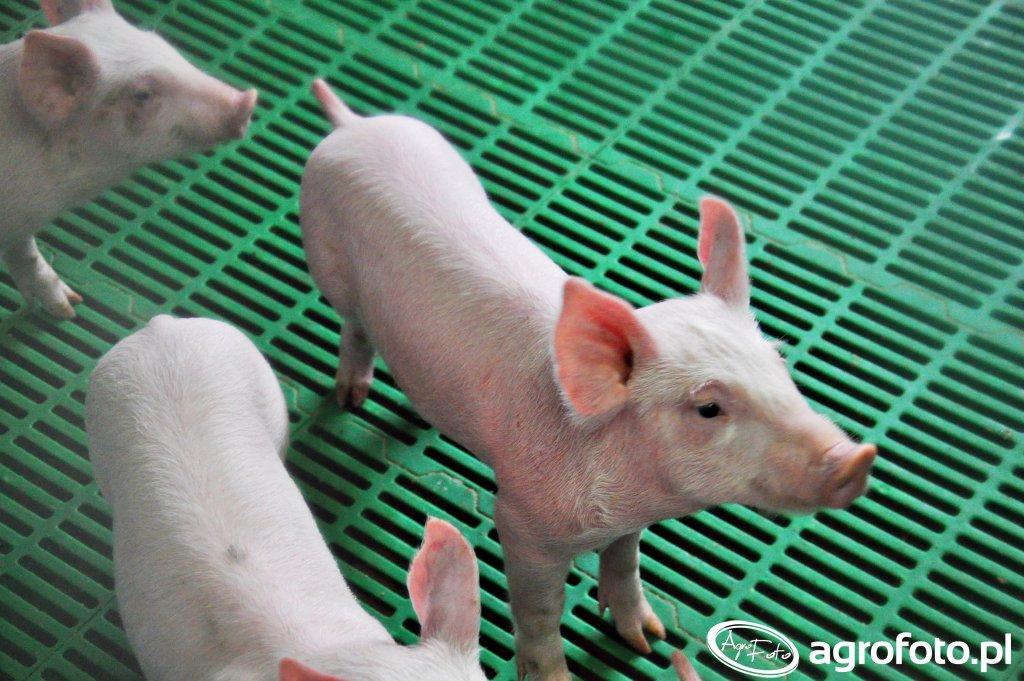 Brytyjczycy wyhodowali świnie odporne na ASF