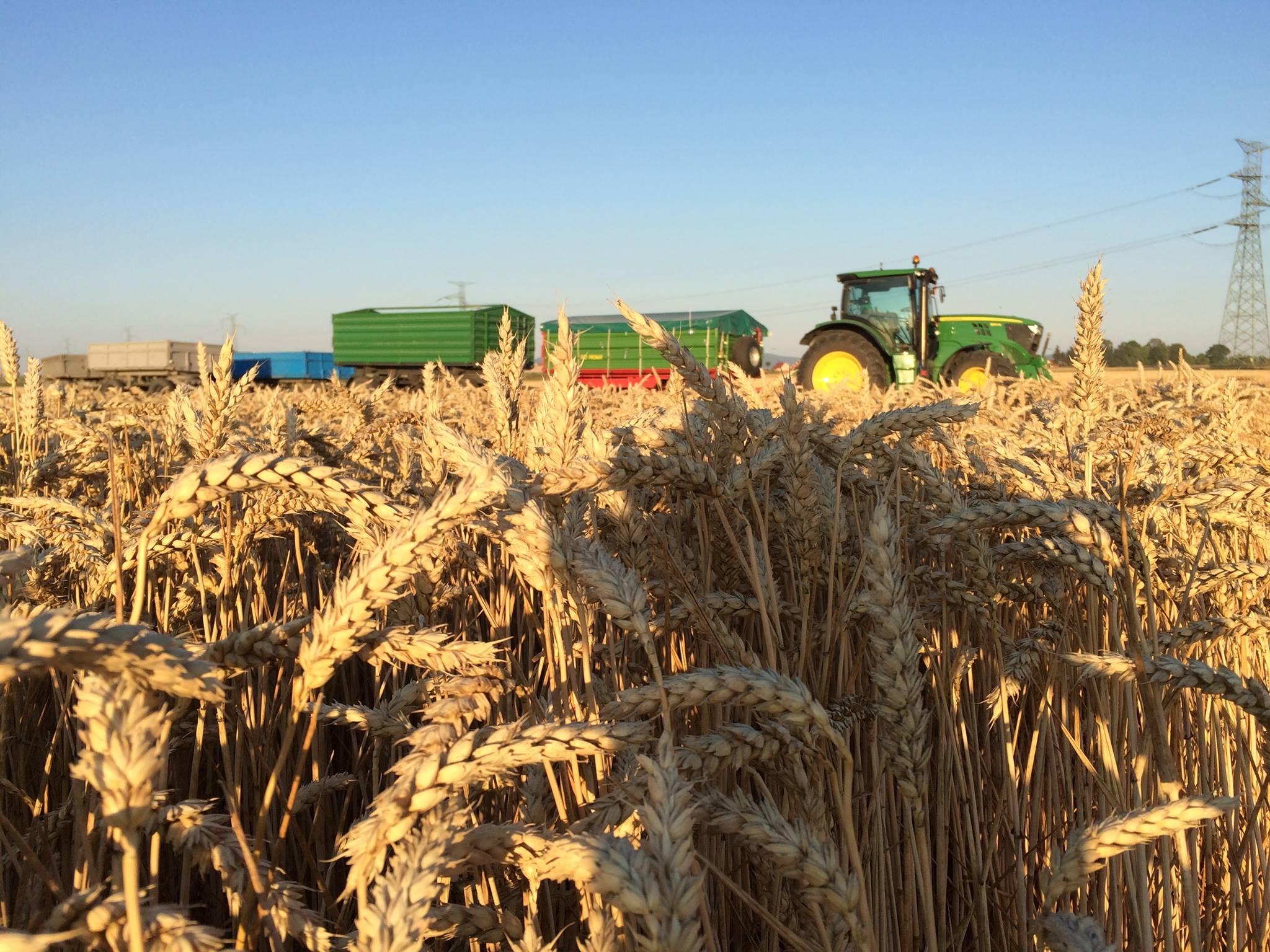 Pszenica na 12 ton - agrotechnika