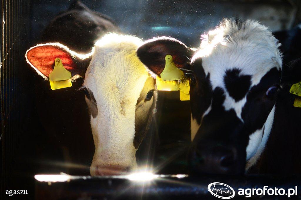 Trzeba się spieszyć z wnioskami o raty kar mlecznych