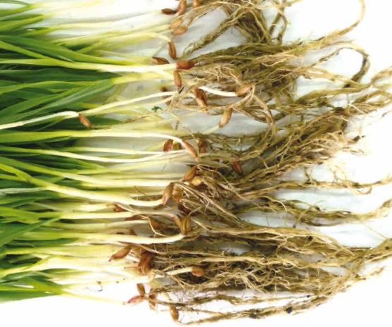Vibrance™ Gold® nowa era zaprawiania nasion zbóż