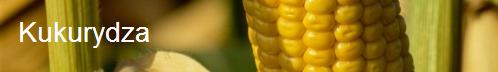Zarejestrowano dwie nowe odmiany kukurydzy