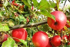 Dokarmianie jabłoni po opadzie czerwcowym