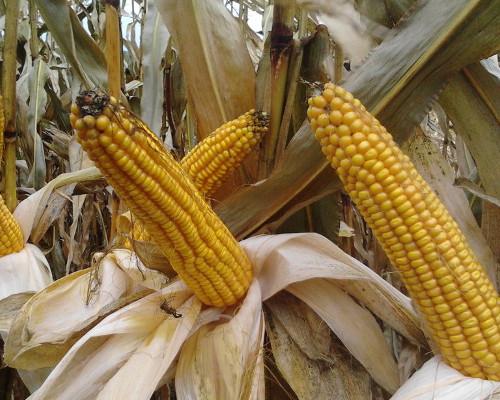 Kukurydza. Ustalanie rekomendacji agrotechnicznych