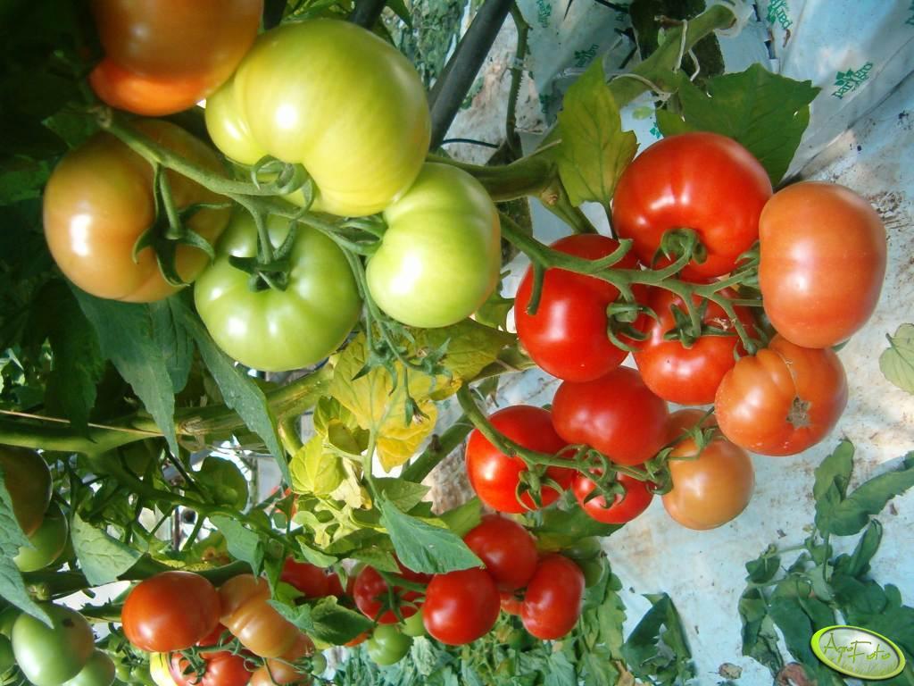 Polska jest ważnym europejskim producentem pomidorów