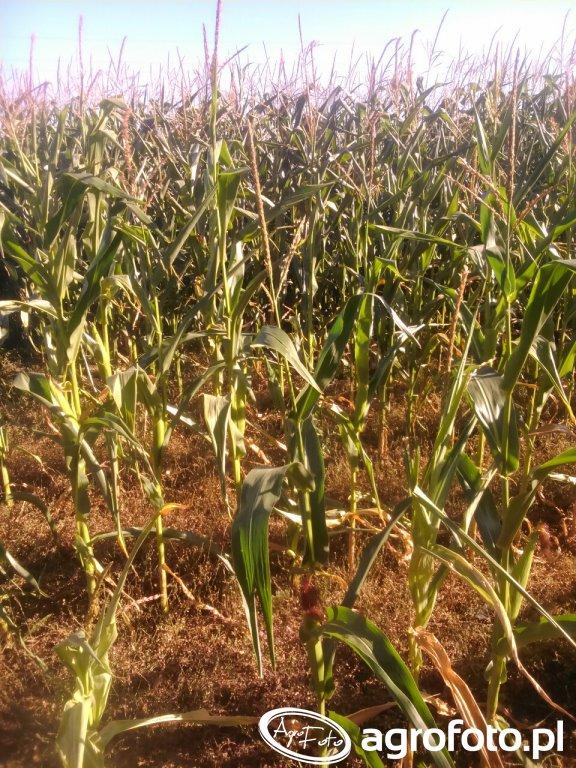 Pomoc socjalna dla rolników poszkodowanych przez suszę