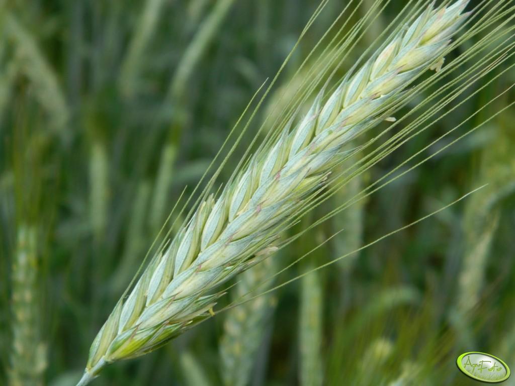 Doping dla zbóż
