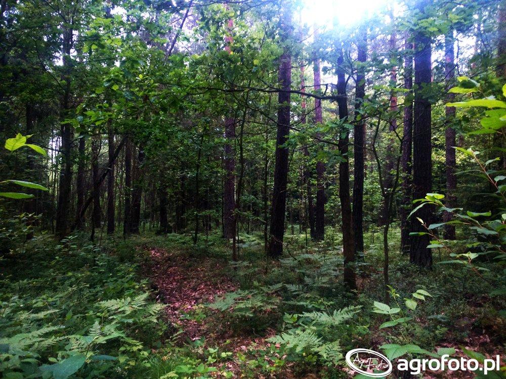 Wysokie zagrożenie pożarowe w polskich lasach