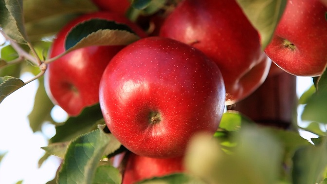 Sposób na rumiane jabłka