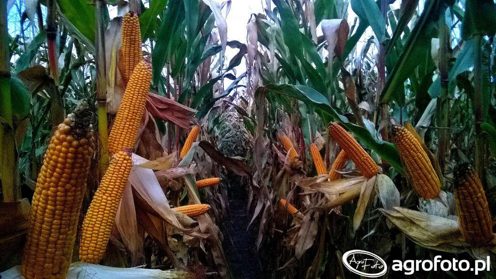 Podsumowanie sezonu kukurydzianego