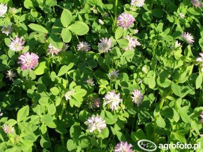 Kwiat koniczyny perskiej