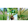 Chwastnica jednostronna (Echinochloa crus-galli)