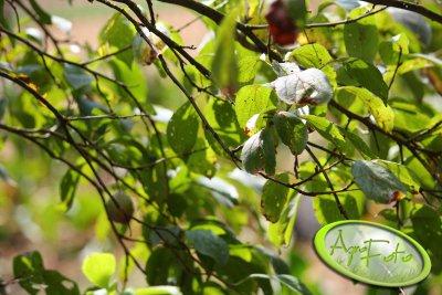 Dziurkowatość liści drzew pestkowych - śliwa