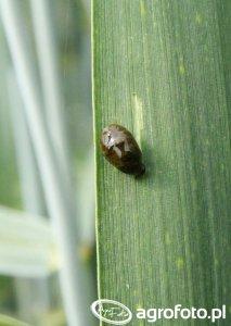 Skrzypionka zbożowa - żerująca larwa