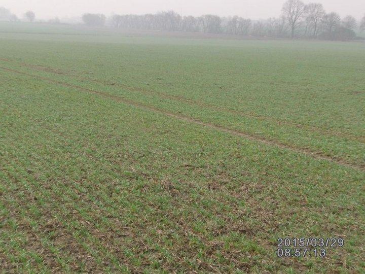 pszenica ozima po soi siana pod koniec października 2014 004.JPG