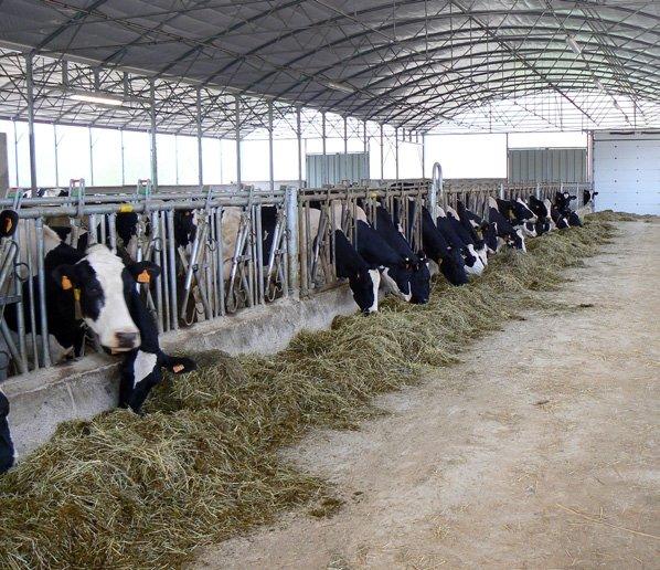 krowy 3.jpg