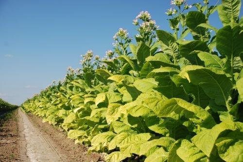 nasiona-tytoniu-2941776916.jpg