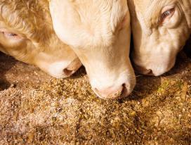 Dlaczego krowy mleczne nie chcą jeść?