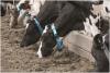 Jakie ważne informacje  kryją się w sposobie jedzenia i przeżuwania krów?